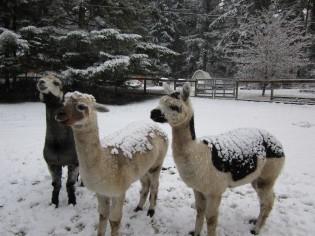 alpacas2012