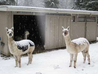 alpacaswinter2012